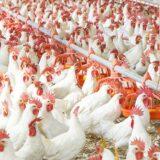 Poultry Farm in Romania